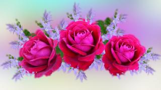 розы, фон