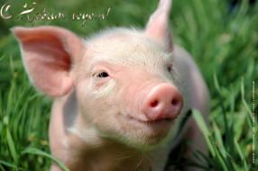 календари, праздники,  салюты, свинья, поросенок