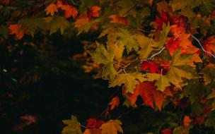 листья, осень, кленовые