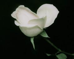 роза, белая