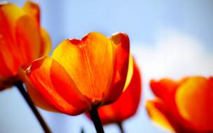тюльпаны, желтые