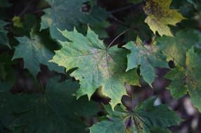 кленовые, листья