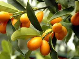природа, плоды, мушмула