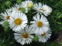 Астры, цветы