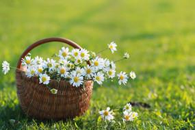 цветы, ромашки, ромашка, лето, корзина