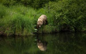 лето, рыболов, река, берег, трава, идет на рыбалку, бурый, водоем, кусты, прогулка, листва, медведь, отражение, поза, природа