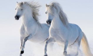 пара, снег, белые, лошади
