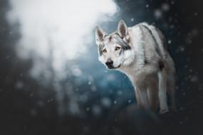 зима, лес, поза, природа, снег, свет, морда, взгляд