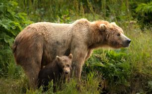 морды, два, парочка, медведица, дитя, материнство, мать, два медведя, бурые, зелень, медвежонок, пара, поза, природа, листья