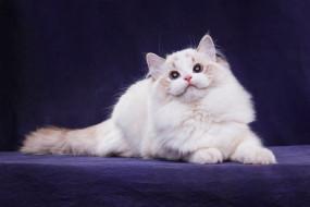 мордочка, хвост, лежит, пушистый, лапы, котенок, темный фон, поза, взгляд, кот, белый, кошка, порода, голубые глаза, котёнок