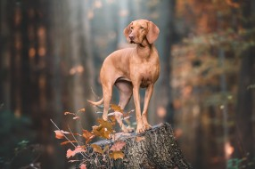 веймаранер, коричневая, собака, пень, поза, взгляд, осень