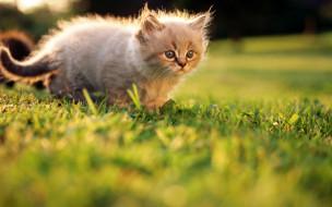котенок, лужайка, трава