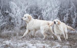 собаки, взгляд, снег