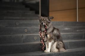 держит в зубах, морда, город, собака, бордер-колли, сидит, поводок, лестница, ступени, взгляд