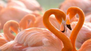 пара, портрет, сердце, фон, птицы, любовь, любовь и фламинго, дитя заката, шеи, розовый фламинго, яркое оперение, дикая природа, фламинго, влюбленные