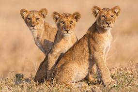 львята, молодняк, портрет, львы, троица, трио