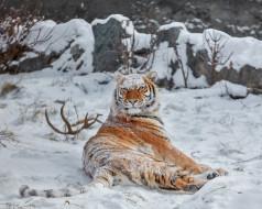 дикая кошка, снег, тигрица, зима