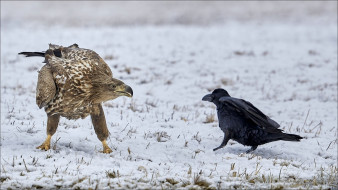 other, Animals, birds, two, dispute