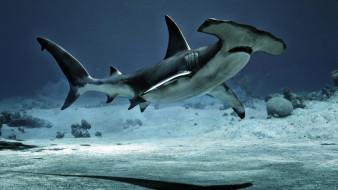 акула, море, молот