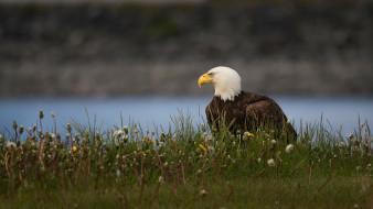 птица, трава, взгляд, цветы, природа, поза, орел, фон, река