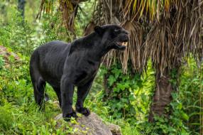 животные, пантеры, барс, пантера, хищник, черный