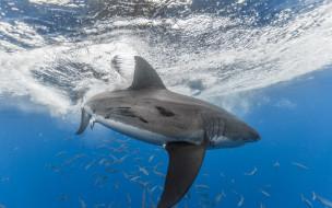 акула, рыба, море