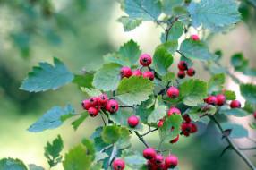ветка, ягоды