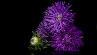 цветы, астры, лиловый