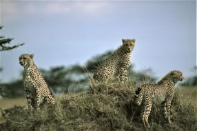 трава, холм, гепарды