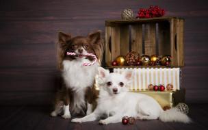 новый год, маленькие собаки, рождество, домашние животные, собаки, чихуахуа
