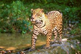 хищник, зверь, ягуар, джунгли