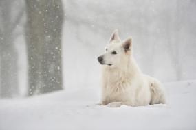 снег, взгляд, фон, собака