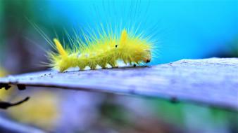 гусеница, желтая