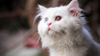 белый, гетерохромия, кот