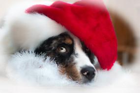 собака, шапка, голова