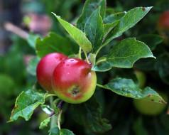 ветка, яблоки