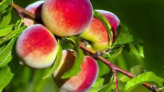 ветка, персики