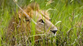 трава, голова, лев
