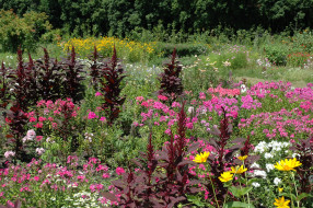 растение, цветы, амарант