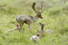 животные, олени, лани, трава
