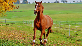 конь, рыжий, луга, изгородь