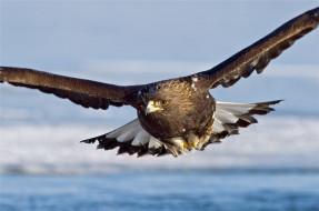 орлы, хищные птицы, животные, беркут