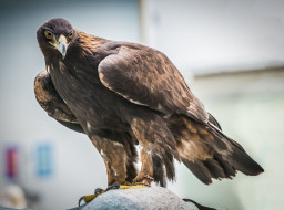 животные, беркут, хищные птицы, орлы