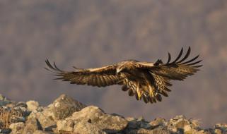 беркут, орлы, животные, хищные птицы