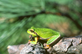 лягушка, зеленая, коряга