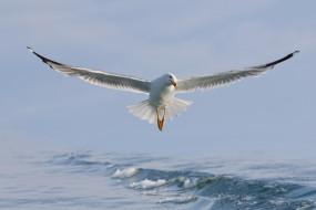 животные, Чайки,  бакланы,  крачки, вода, птица, крылья, чайка, полёт, море