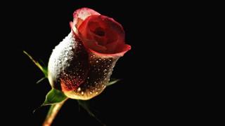 роза, капли, бутон