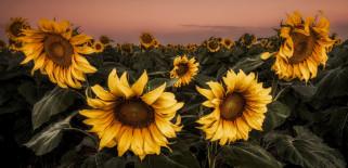 поле, подсолнухи, лето