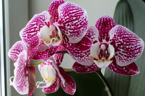 цветок, фон, орхидея