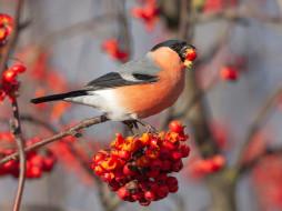 снегирь, рябина, птичка, красные, плоды